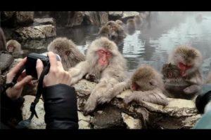 海外「俺も猿に生まれれば」雪景色で温泉に浸かる日本の猿たちが世界で話題に(海外の反応)