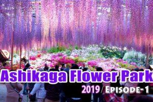 海外「日本は本当にきれいな国だね!」あしかがフラワーパークの藤の花が美しいと話題(海外の反応)