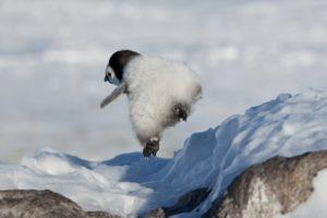可愛すぎるペンギンのずっこけ動画が話題に(海外の反応)
