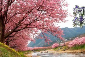 海外「この素晴らしい国と恋に落ちないことは不可能」満開の河津桜を撮影した動画に反響(海外の反応)