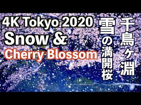 海外「素晴らしい桜!今年はコロナのせいで日本に行けなくて残念」東京で雪の中咲く満開の桜(海外の反応)
