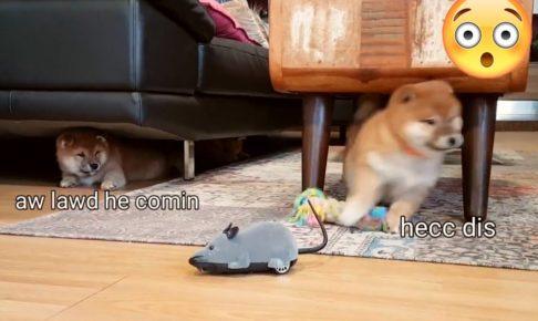 外国人「外出自粛のこの時期に私を幸せにしてくれる唯一のもの」柴犬の前にネズミのおもちゃが現れたら…(海外の反応)