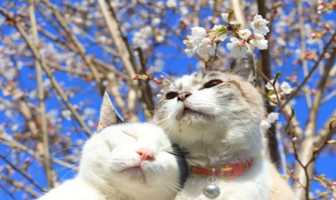 海外「桜と子猫の動画最高!」桜の下でくつろぐ日本の猫たち(海外の反応)