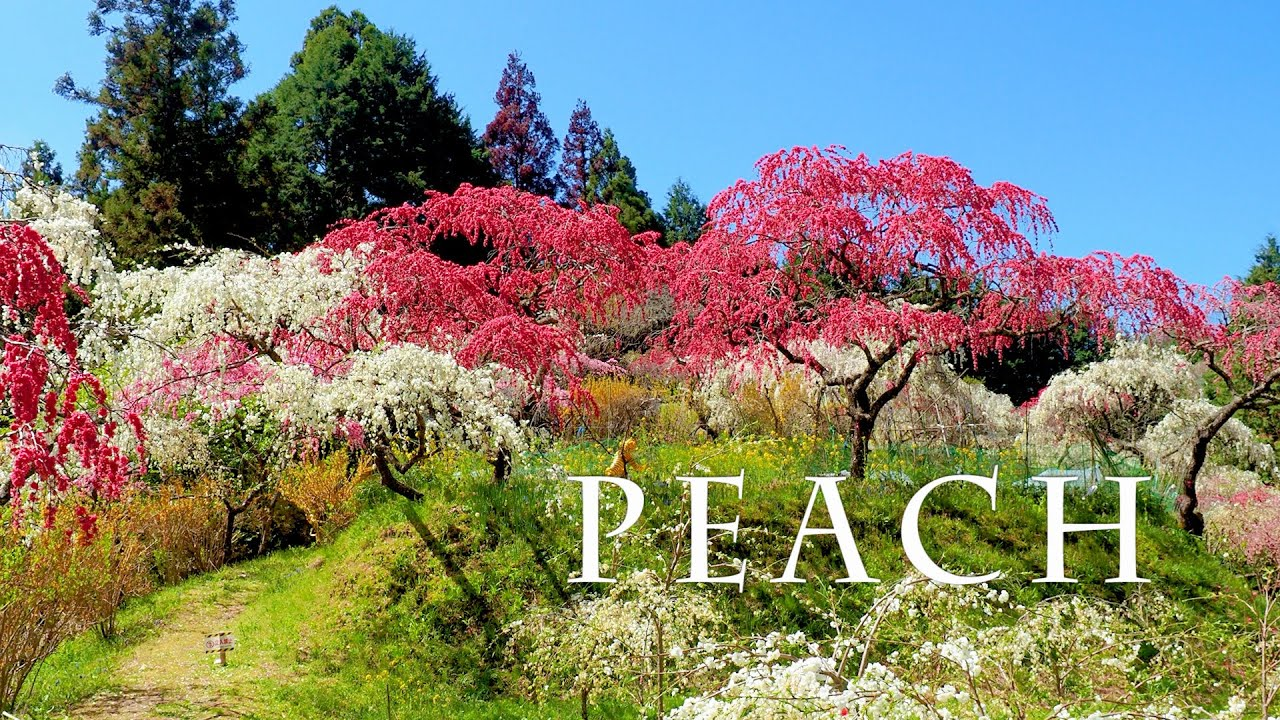 海外「いつものように不思議で美しい日本」満開に咲くしだれ桃の絶景に反響(海外の反応)
