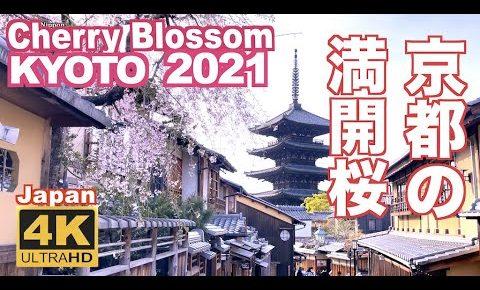 海外「京都に戻ってもう一度美しい桜を見たい」京都の満開の桜を撮影した動画が話題に(海外の反応)