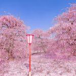 海外「日本の自然は世界一!」鈴鹿の森庭園の美しすぎる梅の絶景が話題に(海外の反応)