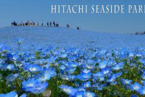 海外「日本は自然を守るのに最善を尽くしている」ひたち海浜公園の青に染まった絶景に反響(海外の反応)